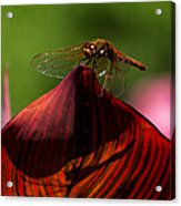 Sunbathing Dragonfly Acrylic Print
