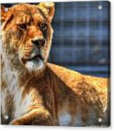 Sunbathing Lioness  Acrylic Print