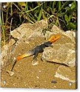 Sunbathing Lizard Acrylic Print
