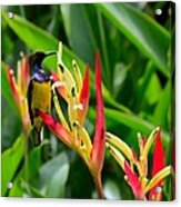 Sunbird On Heliconia Ginger Flowers Singapore Acrylic Print
