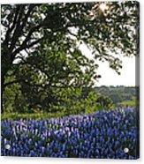 Sunburst Oak And Bluebonnets Acrylic Print