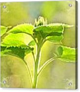 Sundrenched Sunflower - Digital Paint Acrylic Print