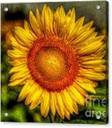Sunflower Acrylic Print by Adrian Evans
