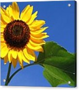 Sunflower Alone Acrylic Print