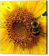 Sunflower And A Bee Acrylic Print
