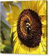 Sunflower And Bee-3922 Acrylic Print