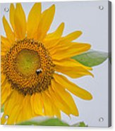Sunflower And Bee Acrylic Print