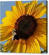 Sunflower And Bee Acrylic Print by Victoria Sheldon
