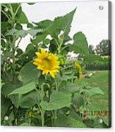 Sunflower And Cornfield Acrylic Print