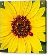 Sunflower And Ladybird Beetle 2am-110490 Acrylic Print