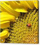 Sunflower And Ladybug Acrylic Print