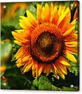 Sunflower At Buttonwood Farm Acrylic Print
