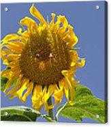 Sunflower At Latrun Acrylic Print