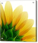 Sunflower Backside Acrylic Print