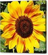 Sunflower Beauty Acrylic Print