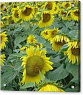 Sunflower Beauty II Acrylic Print
