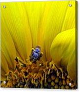 Sunflower Bee Acrylic Print