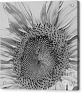Sunflower Black And White Acrylic Print