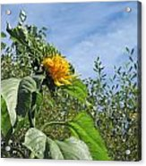 Sunflower Bloom Acrylic Print