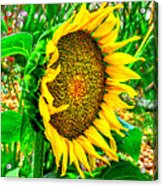 Sunflower Bloom Acrylic Print