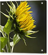 Sunflower Bright Side Acrylic Print