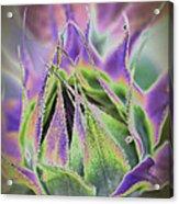 Sunflower Bud Abstract Acrylic Print