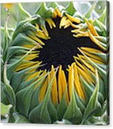 Blooming Sunflower Acrylic Print