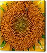 Sunflower Close-up Acrylic Print