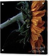 Sunflower Close Up Acrylic Print