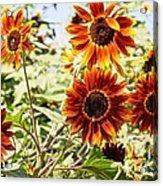 Sunflower Cluster Acrylic Print by Kerri Mortenson