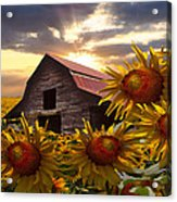 Sunflower Dance Acrylic Print by Debra and Dave Vanderlaan