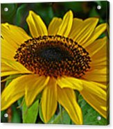 Sunflower Acrylic Print by Daniele Smith