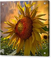 Sunflower Dawn Acrylic Print by Debra and Dave Vanderlaan