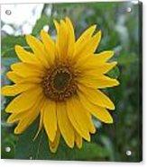 Sunflower Directly... Acrylic Print