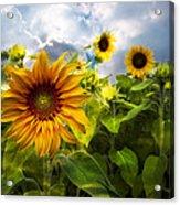 Sunflower Dream Acrylic Print