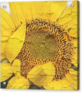 Sunflower Drying Up Acrylic Print