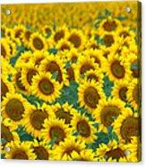 Sunflower Explosion Acrylic Print
