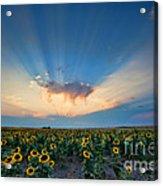 Sunflower Field At Sunset Acrylic Print