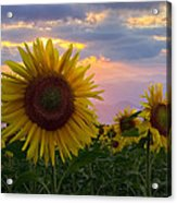 Sunflower Field Acrylic Print by Debra and Dave Vanderlaan