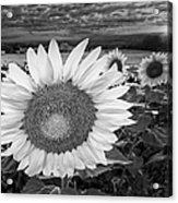 Sunflower Field Forever Bw Acrylic Print