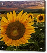 Sunflower Field Forever Acrylic Print