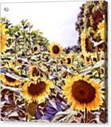 Sunflower Field Acrylic Print