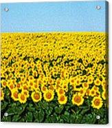 Sunflower Field, North Dakota, Usa Acrylic Print
