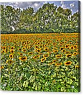 Sunflower Fields Ford World Headquarters Dearborn Mi Acrylic Print