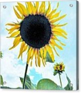 Sunflower Fields Forever One Acrylic Print