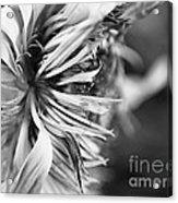 Sunflower Focus Acrylic Print