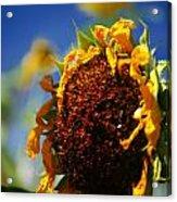 Sunflower Four Acrylic Print