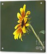 Sunflower From The Side Acrylic Print