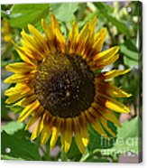 Sunflower Glory Acrylic Print