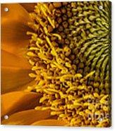 Sunflower Grace Acrylic Print